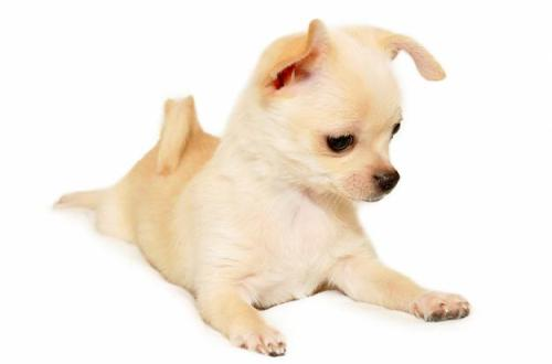 порода чихуахуа собаки фото