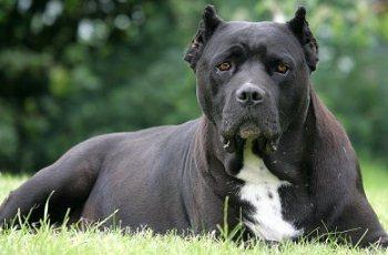 кане корсо собака породы фото