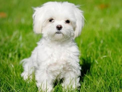 мальтипу собака фото