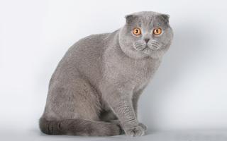 Фолд шотландская вислоухая кошка